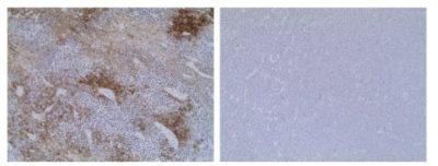 Immunohistochemistry Anti-VSV